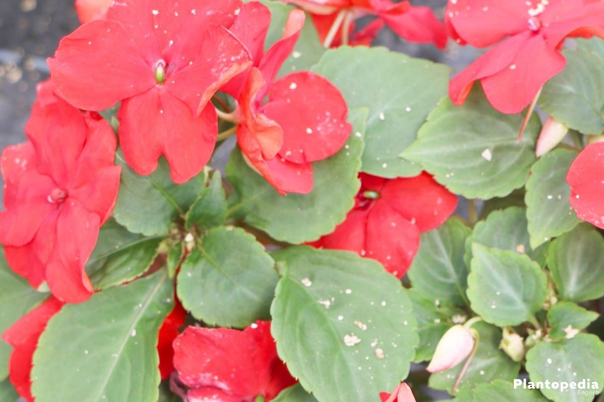 Impatiens walleriana with evergreen leaves