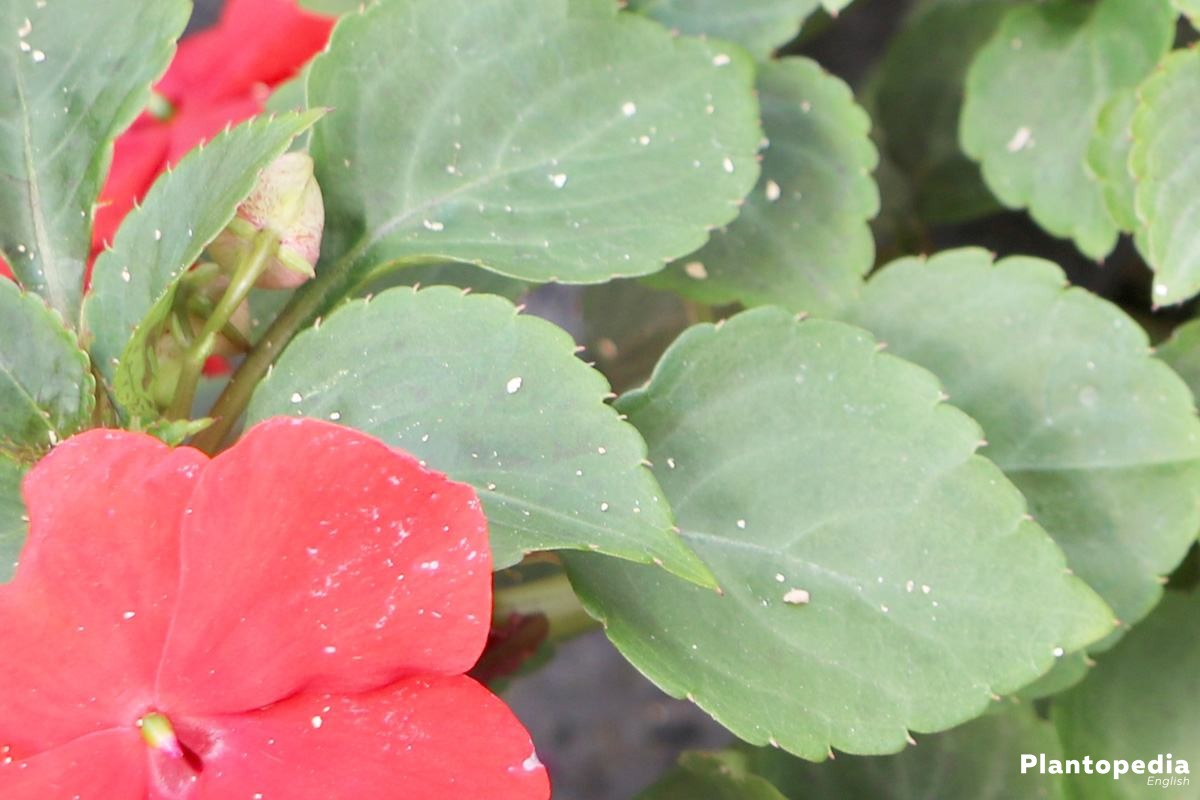 Impatiens walleriana grows high up to 40 centimeters