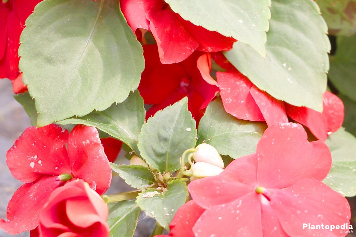 Impatiens walleriana blooms from May until October