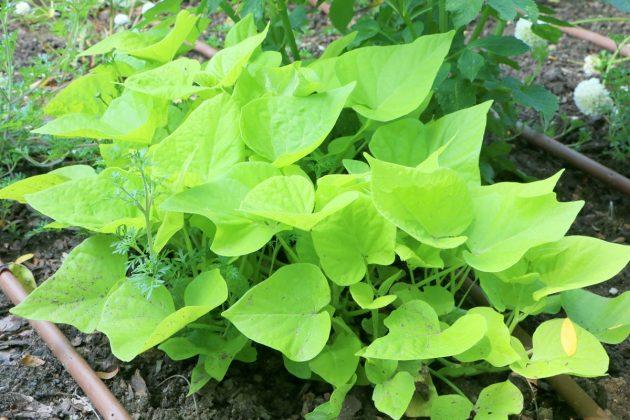 Ipomoea batata 'Terrace Lime'