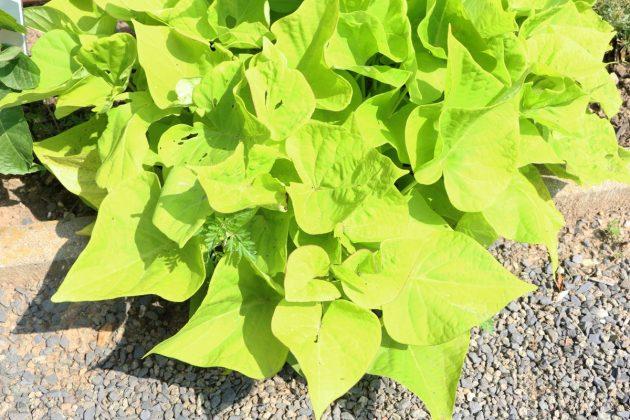 Ipomoea batatas sweetheart 'Light Green'