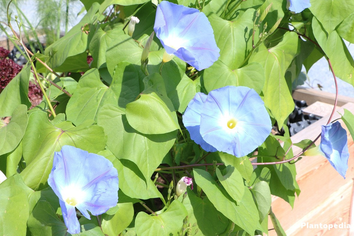 ravishing house plants care. The morning glory presents its ravishing blossoms throughout the summer  As busy creeping plants tropic Ipomoea varieties are offering us an abundance Moonflower Vine alba How to Grow and Care for Moon