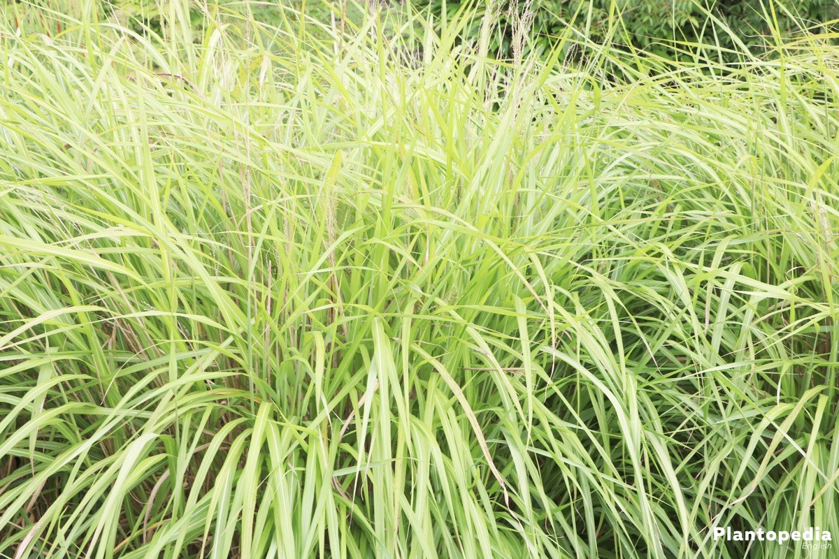 Miscanthus sinensis a ornamental grass for the garden or the balcony