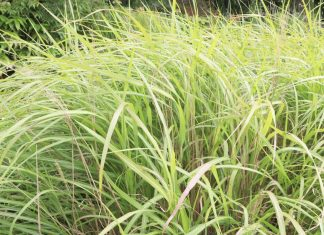 Miscanthus sinensis, Chinese silver grass