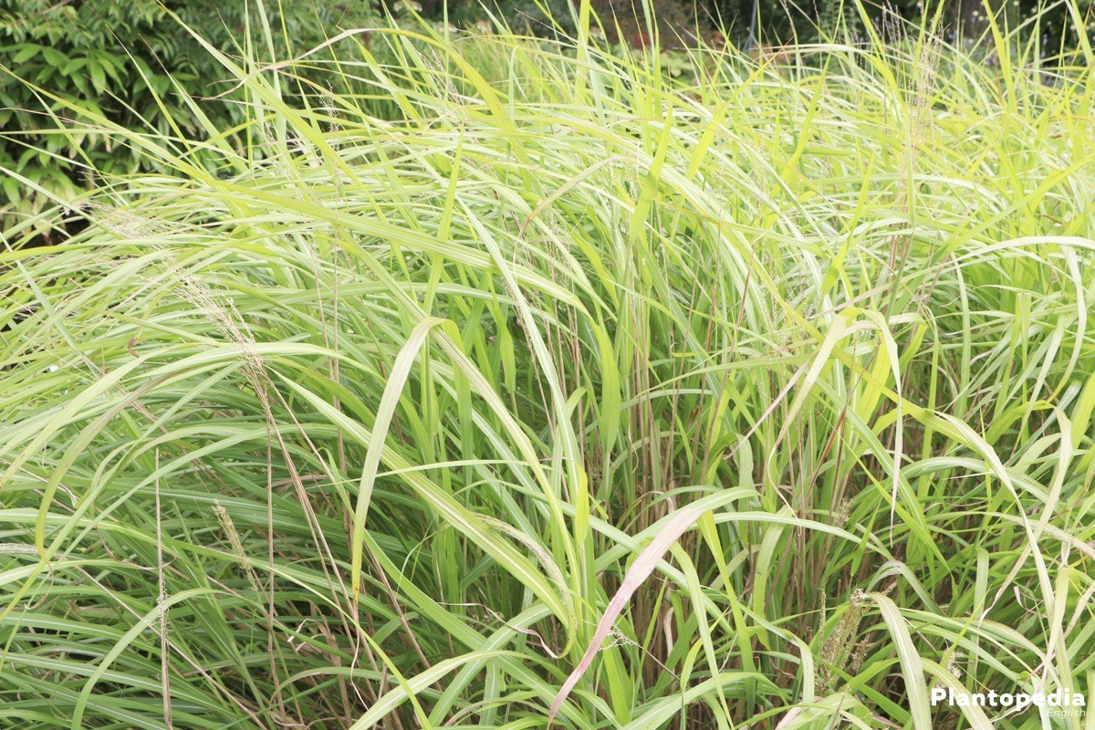 miscanthus sinensis chinese silver grass plant care how to grow plantopedia. Black Bedroom Furniture Sets. Home Design Ideas