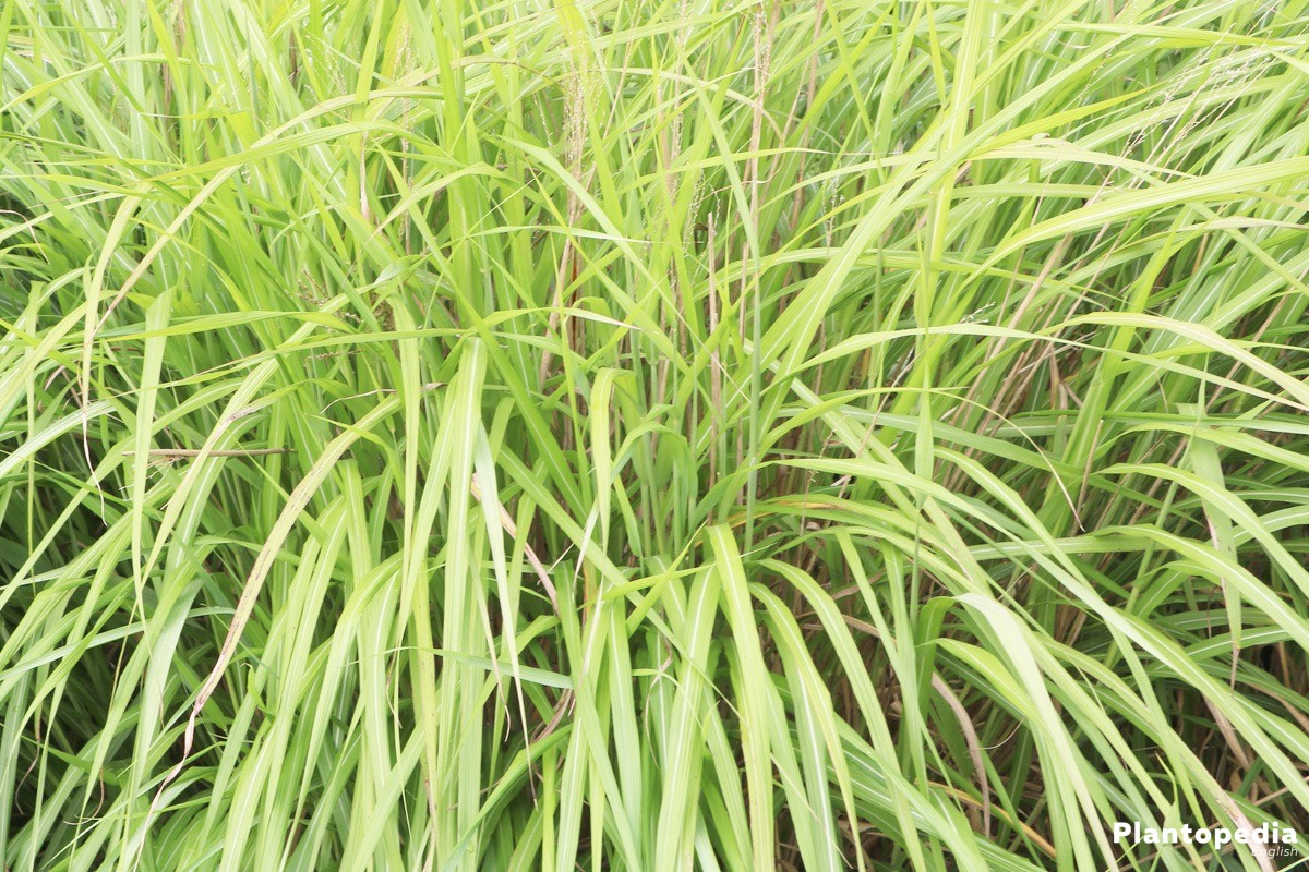 Miscanthus sinensis can also be used as a sight protection