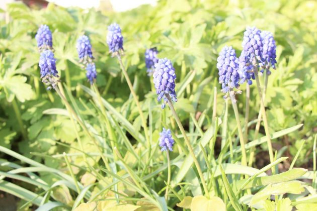 Muscari, Grape Hyacinths