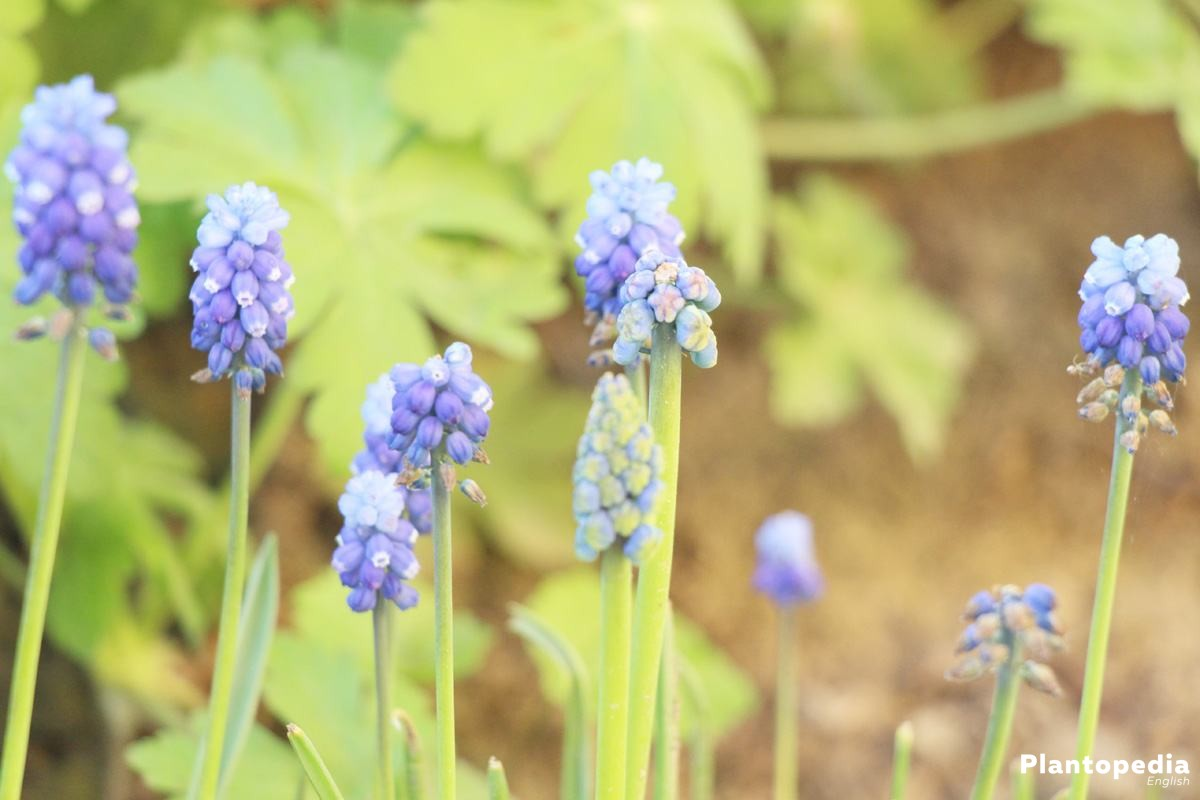 Grape Hyacinths Muscari How To Plant And Care Bloom Time
