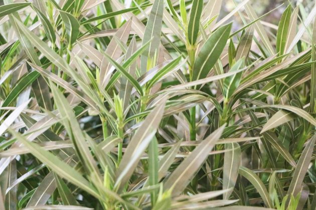 Nerium Oleander is a sun-loving plant