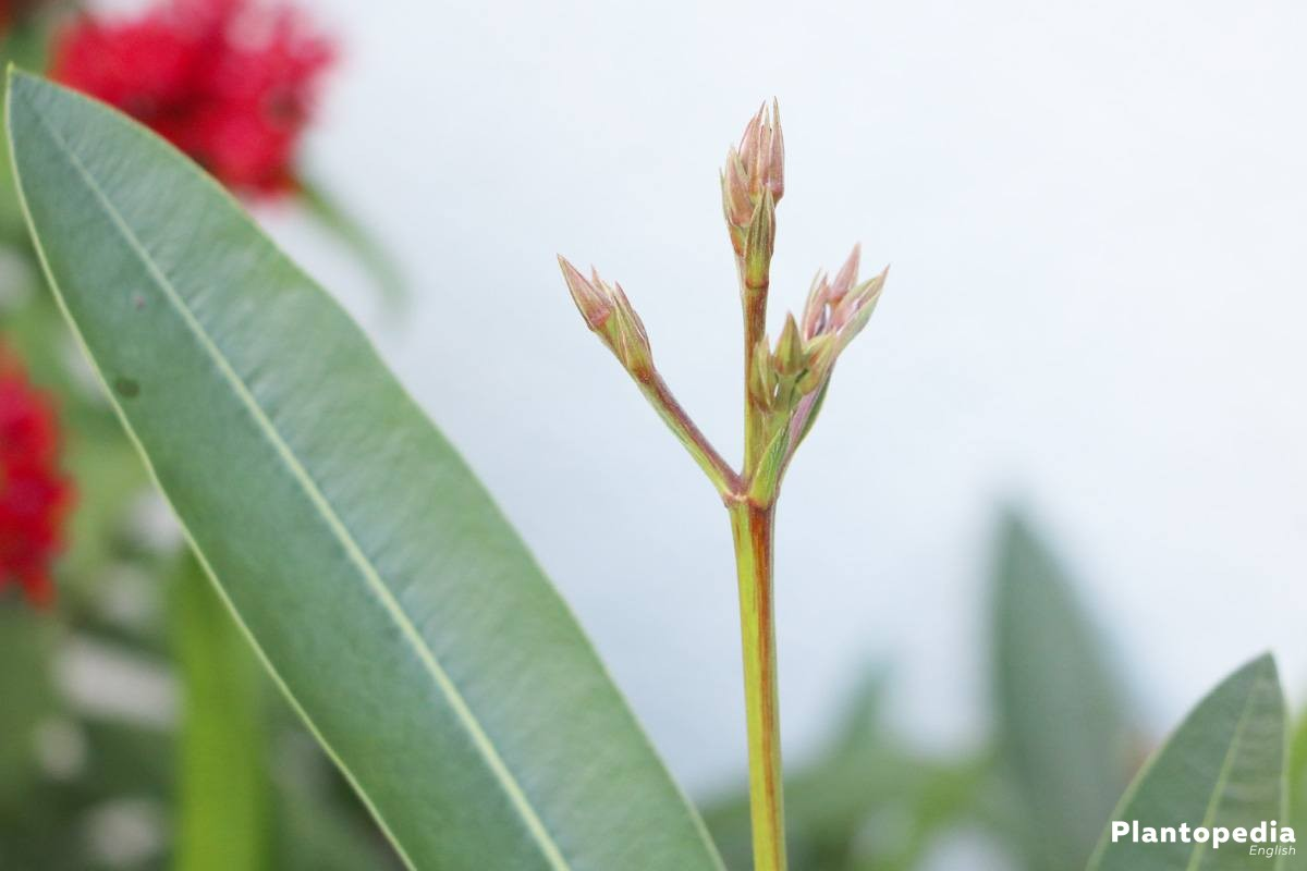 Oleander Plant How To Grow And Care Tips For Pruning