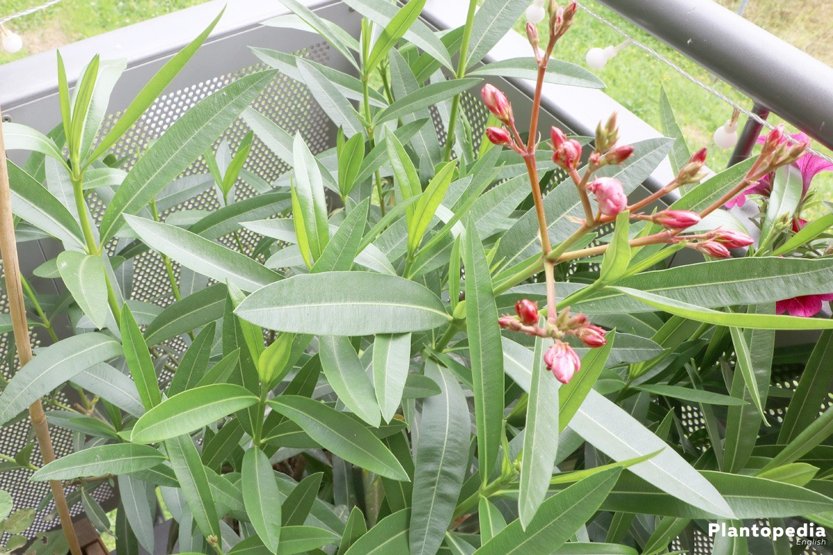 Oleander Plant How To Grow And Care Tips For Pruning Plantopedia