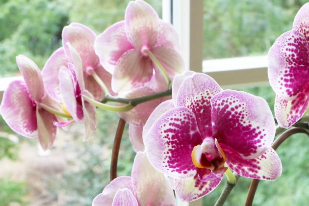 Moth Orchid with full flowering