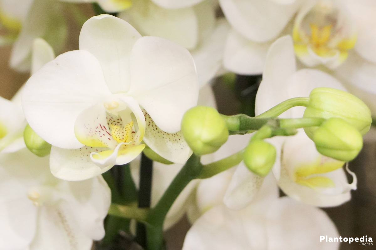 Phalaenopsis with white flower color