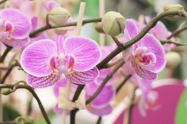 Phalaenopsis comes from the tropical rainforests