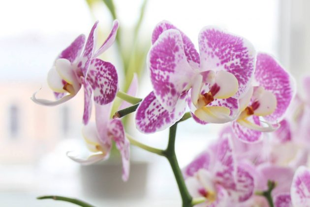 Moth Orchid an exotic indoor plant