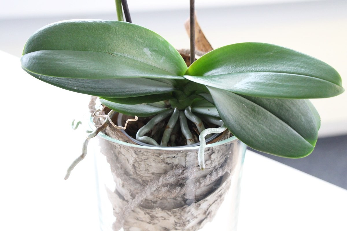 Phalaenopsis Orchid - how to care at home 31