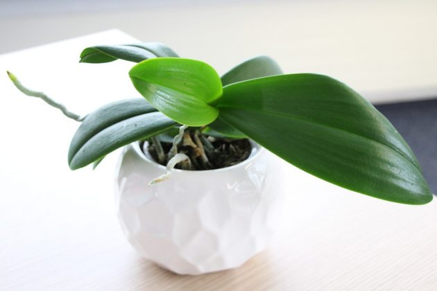 Phalaenopsis with long dark green leaves