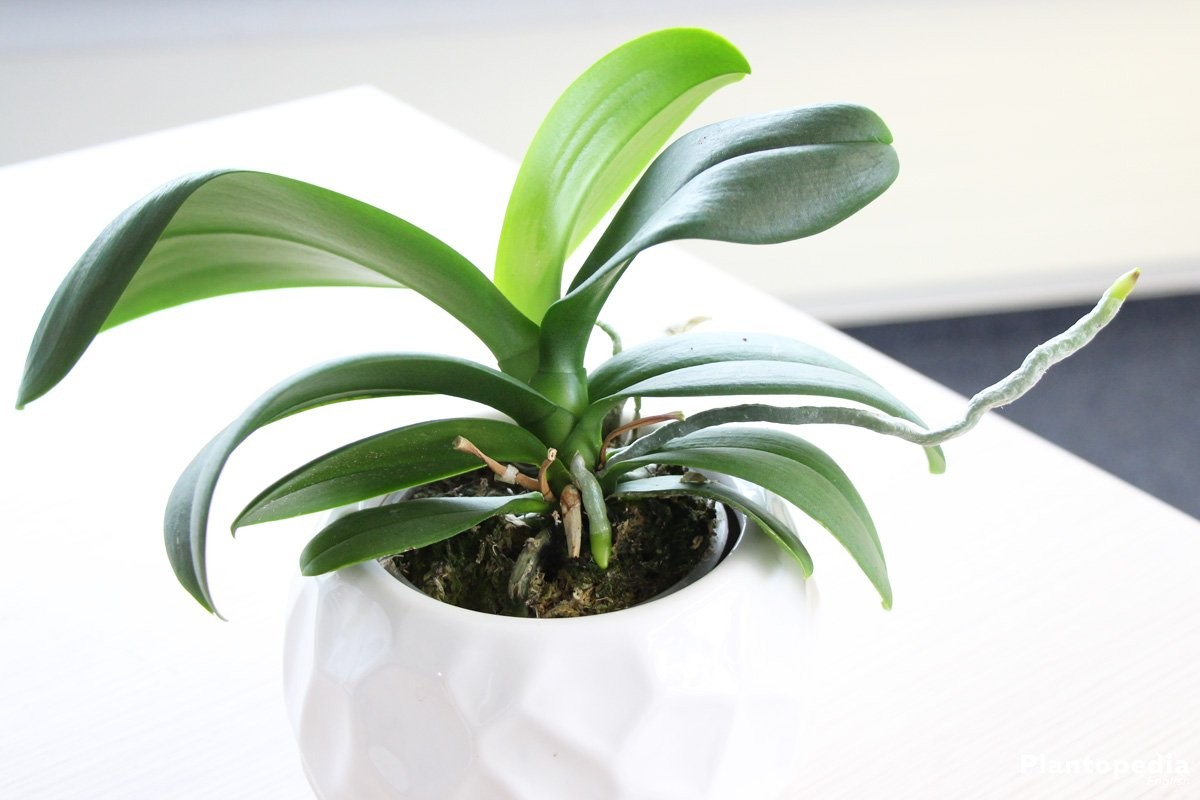 phalaenopsis orchid moth orchids plant how to care repotting plantopedia. Black Bedroom Furniture Sets. Home Design Ideas
