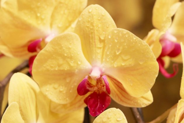 Moth Orchid with yellow flowering