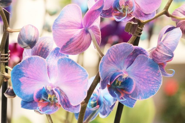 Phalaenopsis with exceptional flower color