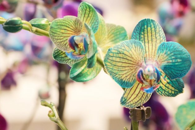 Moth Orchid with impressive color
