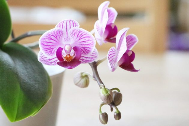 Moth Orchid with partly blossomed flowering