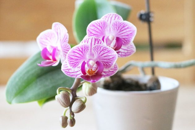 Phalaenopsis as potted plant