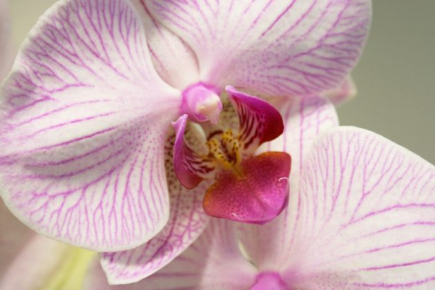 Phalaenopsis with a beautiful flower