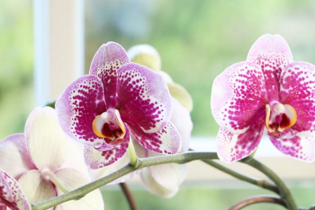 Moth Orchid with intense flowering