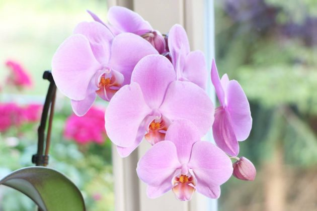 Phalaenopsis with delicate flowering
