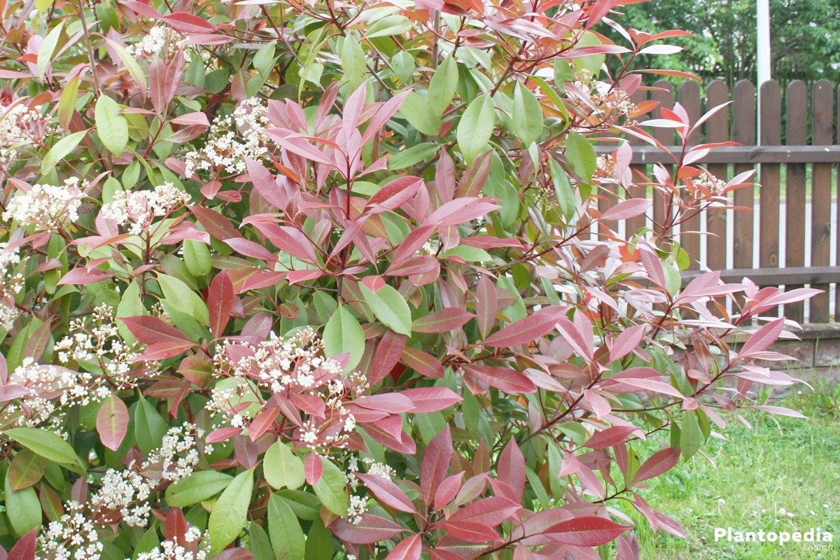 Photinia Fraseri 'Red Robin' in the garden