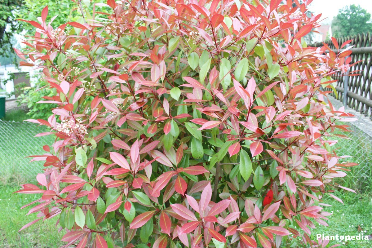 Photinia Fraseri 'Red Robin' an eyecatcher in every garden