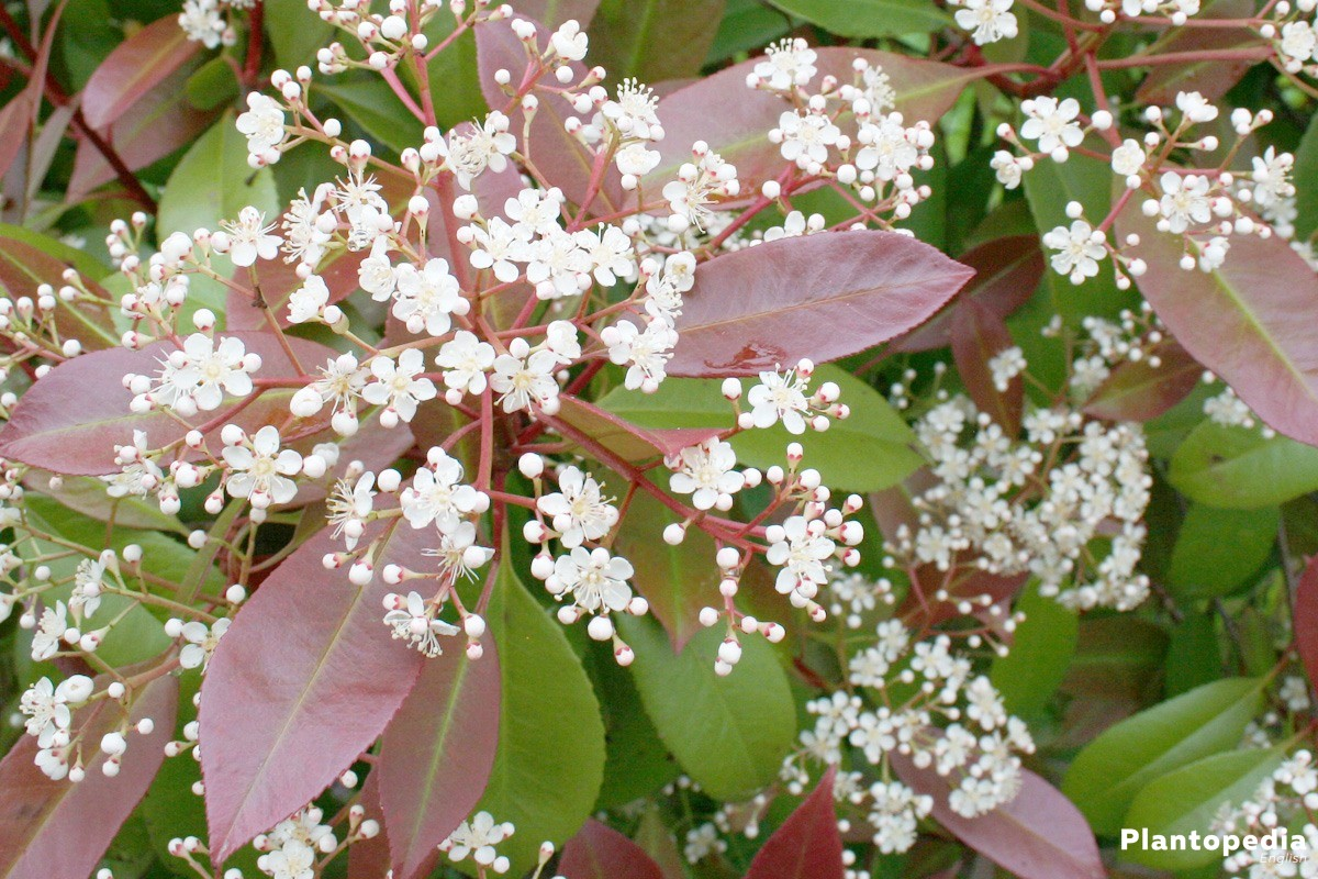 Photinia Fraseri 'Red Robin' with white panicles from May to June