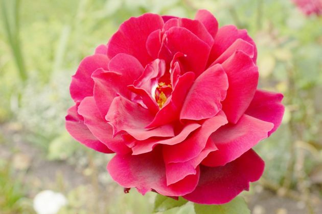 Rose with red blossom