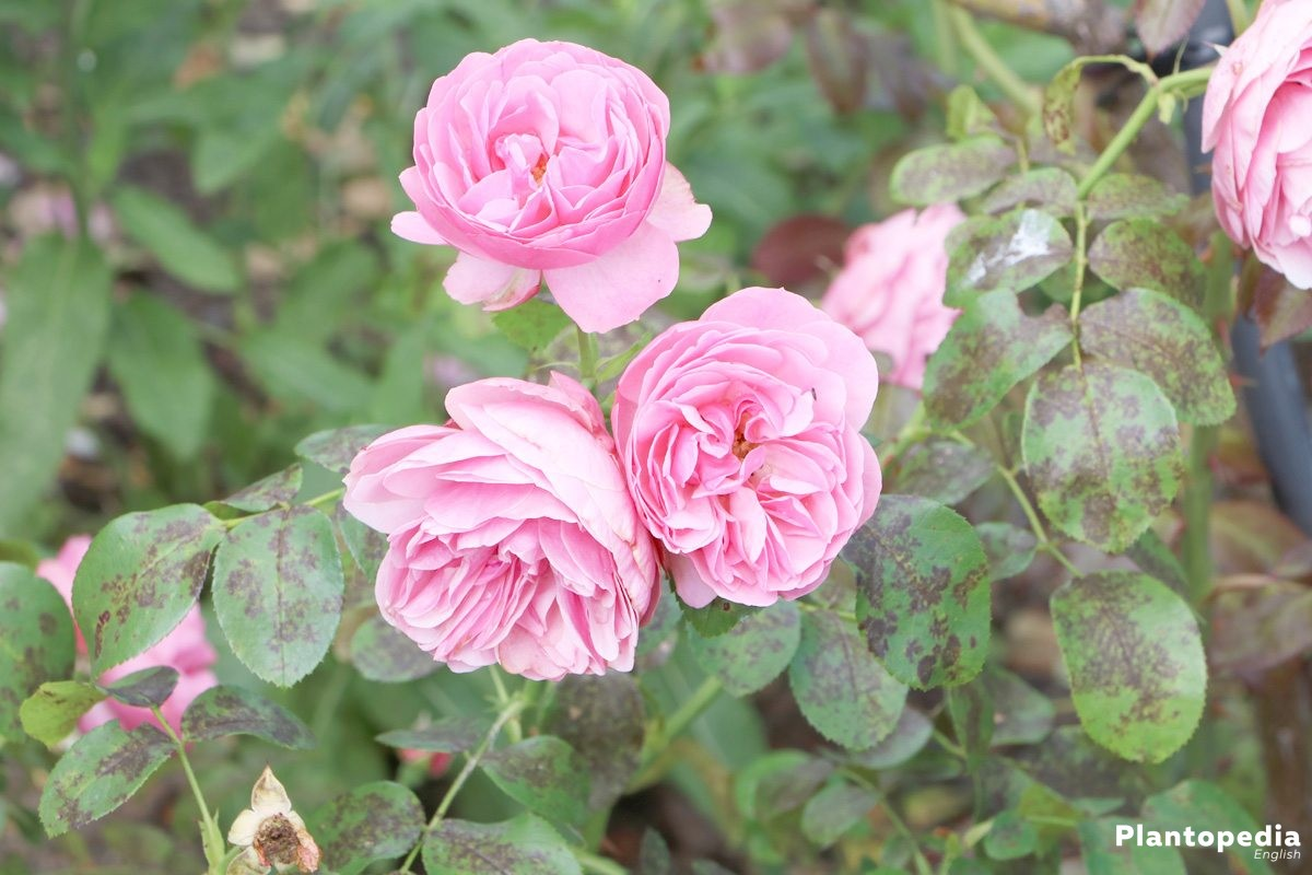 Growing Roses Basics Planting And Caring For Rose Plants