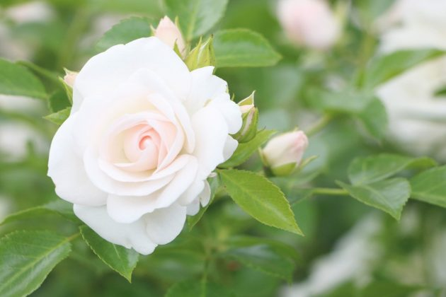 Roses smell mostly tender