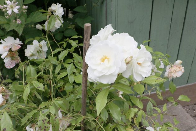 a white colored rose in the garden patch