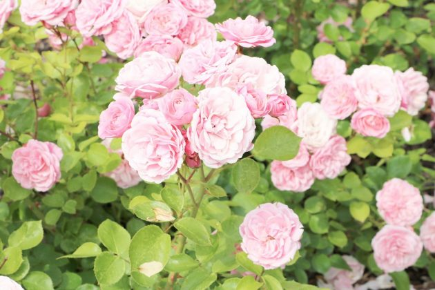 rose shrub with many pink flowers