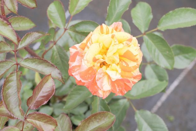 Rose with orange-red blossom