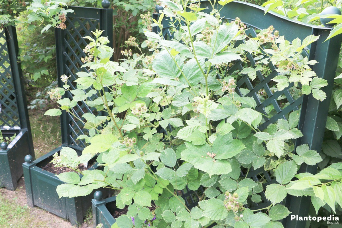 blackberries in plant pots
