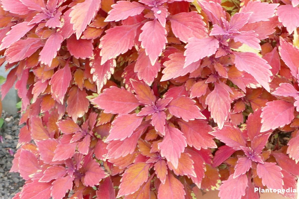 Solenostemon, Coleus - a foliage plant