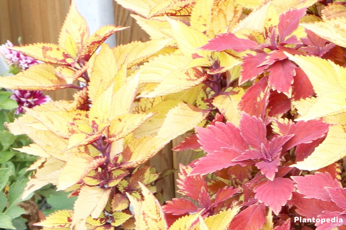 Solenostemon, Coleus for balcony, hanging baskets or the flower bed too