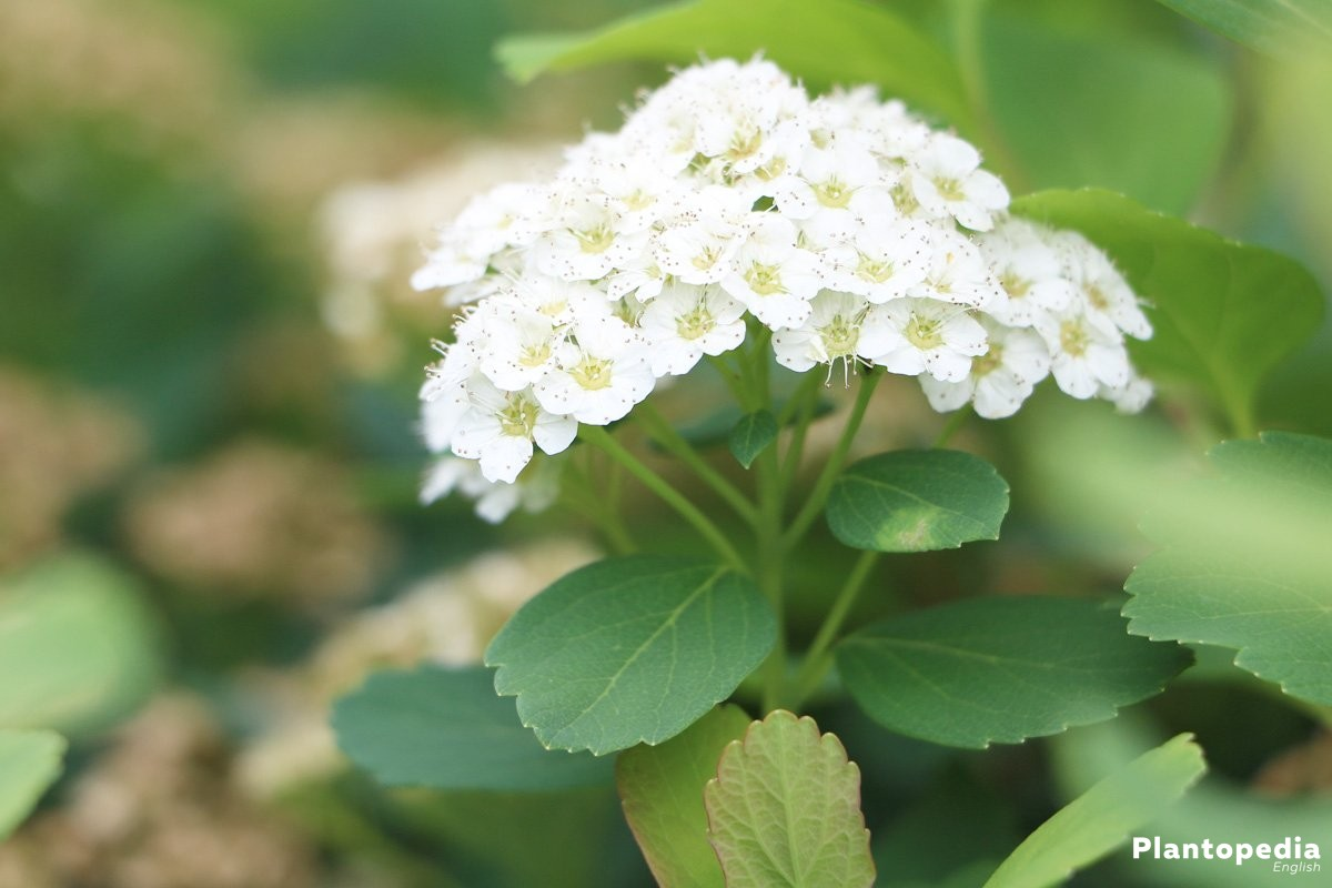 Spirea Spiraea Bushes Bridal Wreath Plant Types