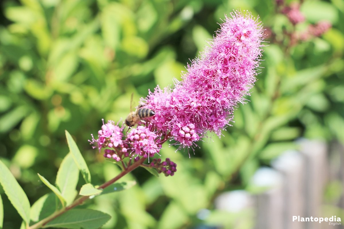 Spirea Spiraea Bushes Bridal Wreath Plant Types Planting Care