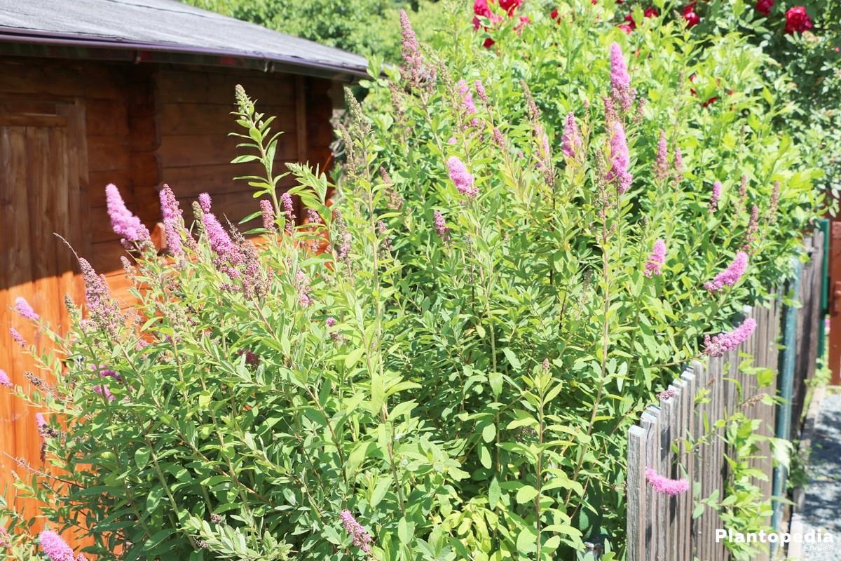 Spirea Spiraea Bushes Bridal Wreath Plant Types