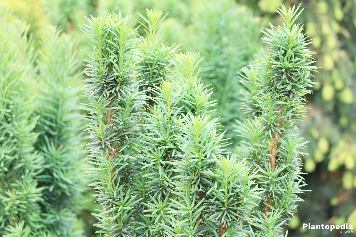 Yew Hedge Taxus How To Plant Grow And Prune Growth Rate