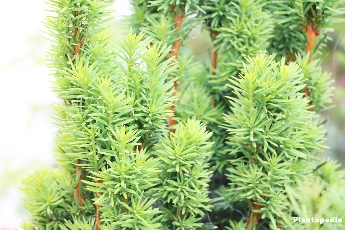 Taxus baccata belongs to the frugal and undemanding plants