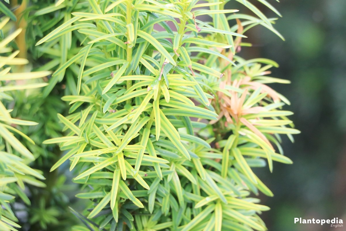 Taxus baccata in the garden
