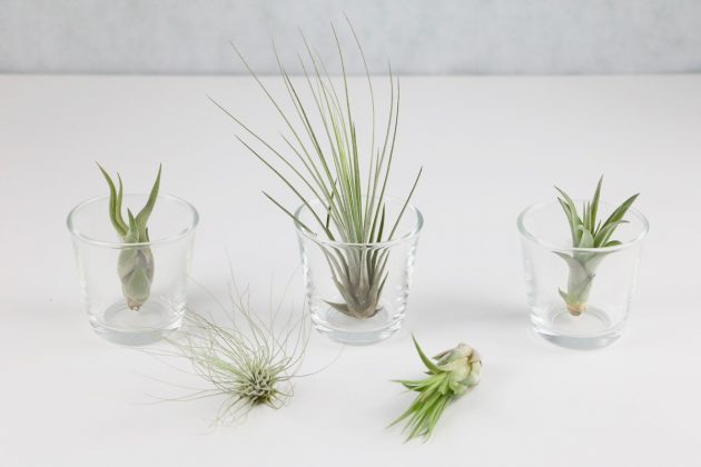 Tillandsia with more than 550 different species