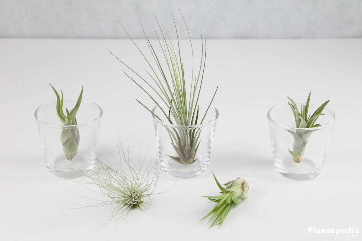 Tillandsia in many different formes